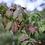 Thumbnail: Euonymus Alatus Compactus