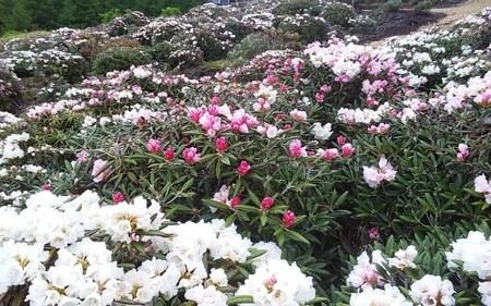 本日の開花状況 イベントは、終わりましたが開花が有る限り開花情報発信します。