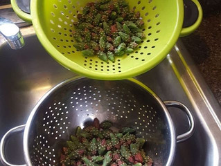Cholla Harvest
