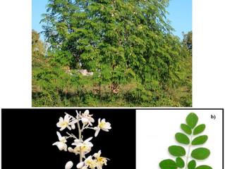 Moringa: Food, Vegetable, Medicine