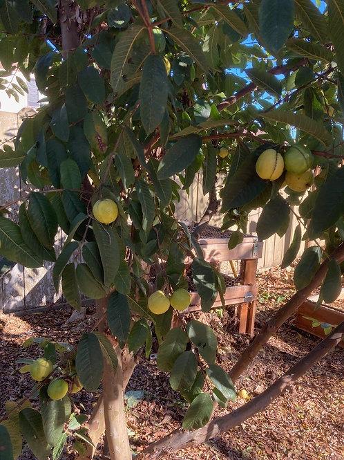 Guava Leaf and Rosehips Elixir 8 ounces