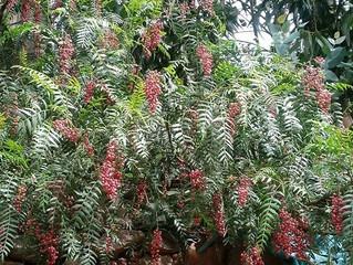 Peru herb: Molle