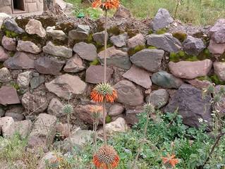 Peru Herb: Wild Daga