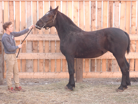 Anderson family are Charleswood Percheron breeders