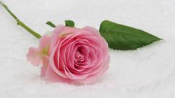 rose-3142660