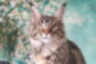 Кошки мейн-кун