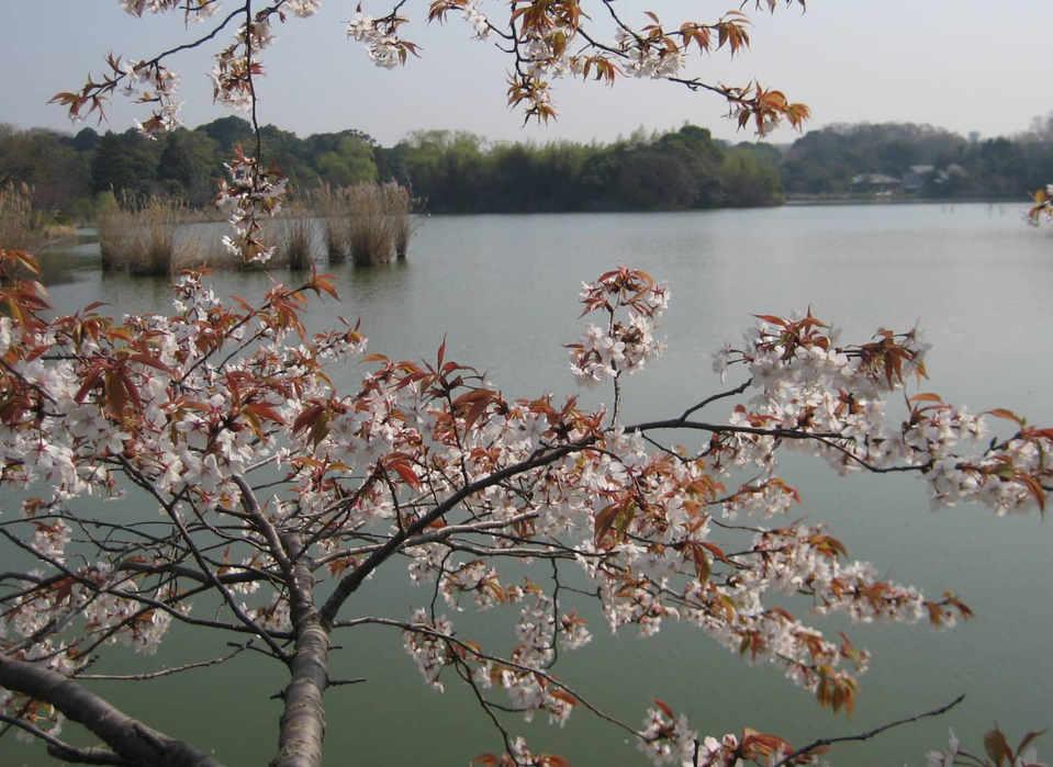 Wild cherry blossoms overviewing Minakami pond