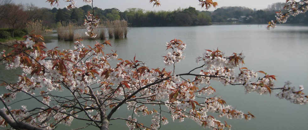 Wild cherry blossoms overviewing Minakami pond