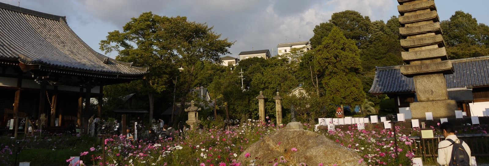 Hannya-ji Cosmos blossoms/般若寺大同花卉