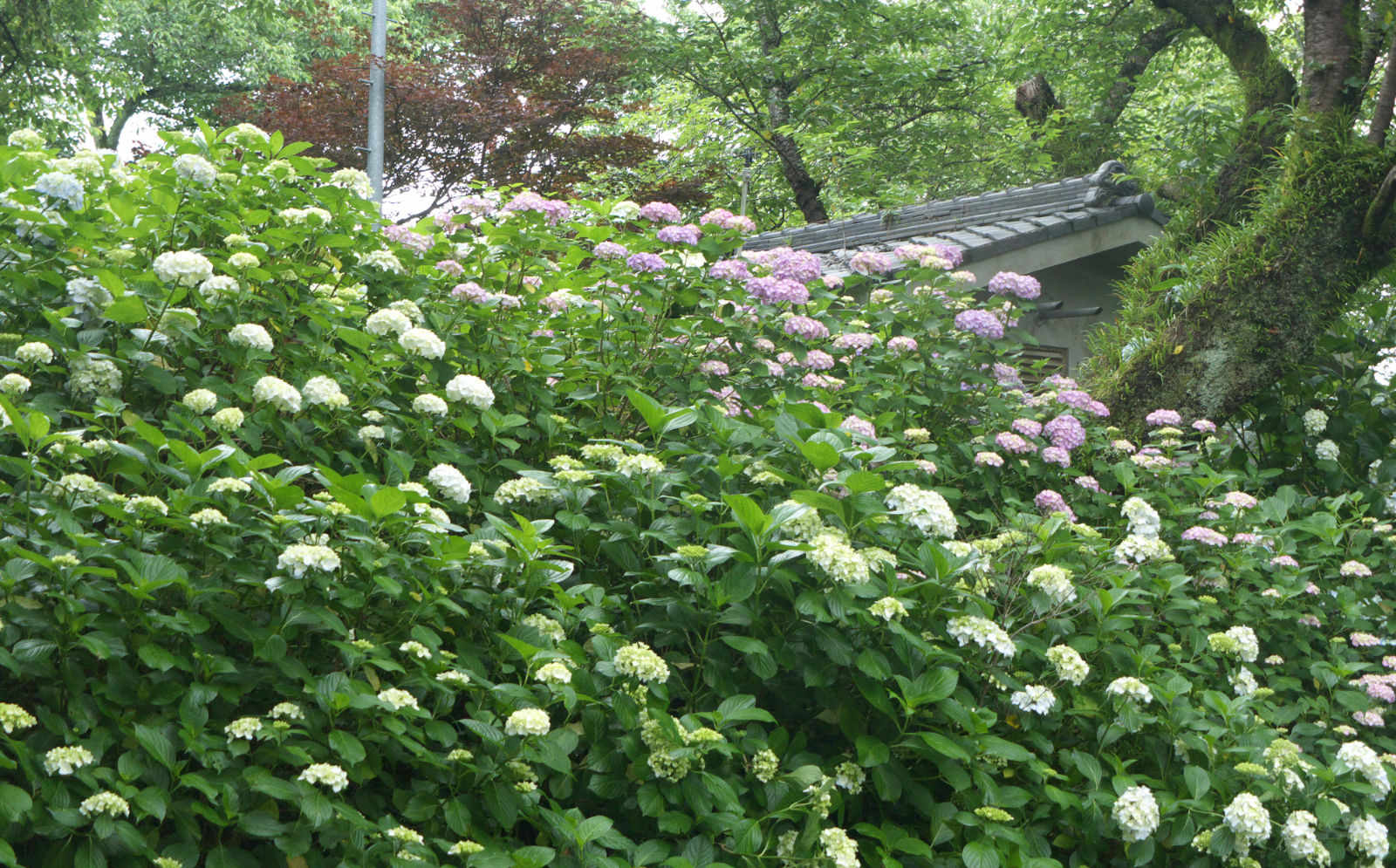 Yatadera full of Hydrangeas/矢田寺紫阳花开花