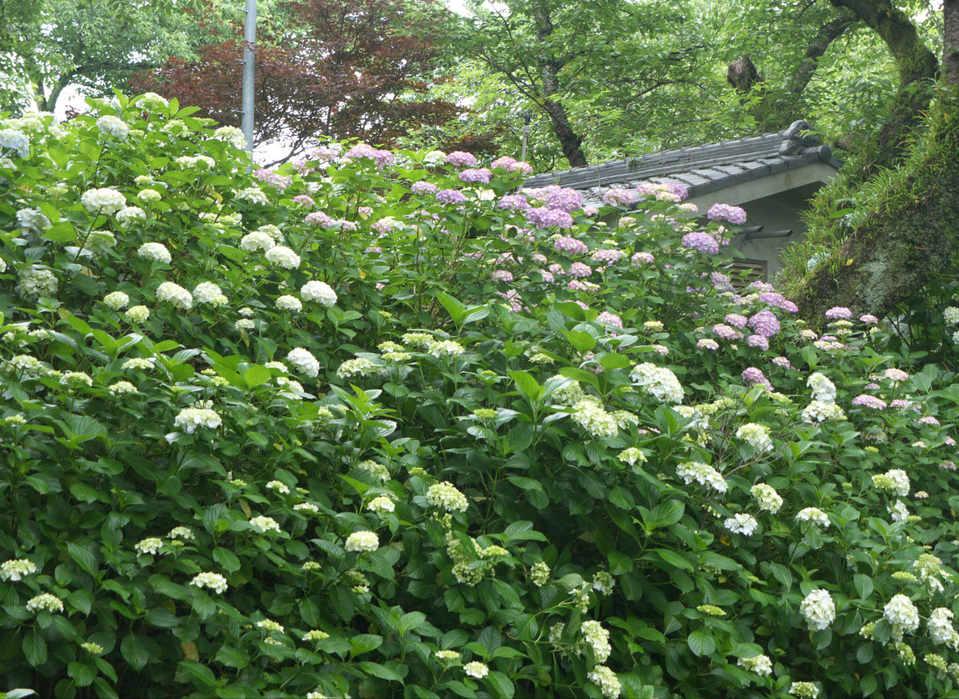 Yatadera full of Hydrangeas/矢田寺紫阳花开花