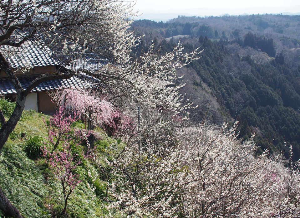 Tsukigase plum tree blossoms/月ヶ瀬梅花