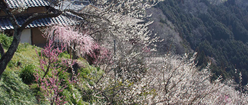 Tsukigase plum tree blossoms/月ヶ瀬梅花