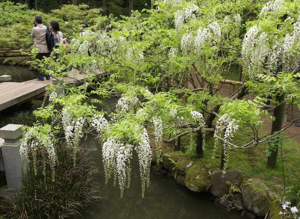Wisteria @Man-yo botanical/紫藤花万葉植物園