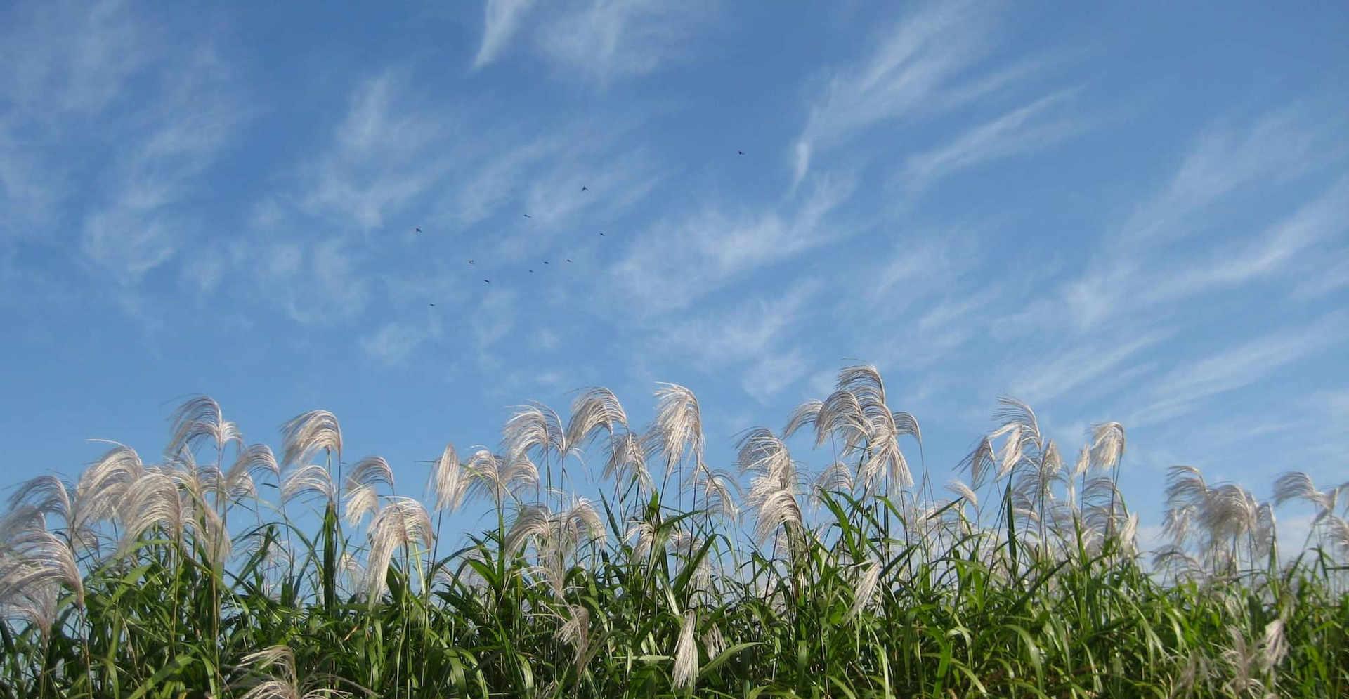 Ogi(Amur silvergrass) in Heijokyo ruins