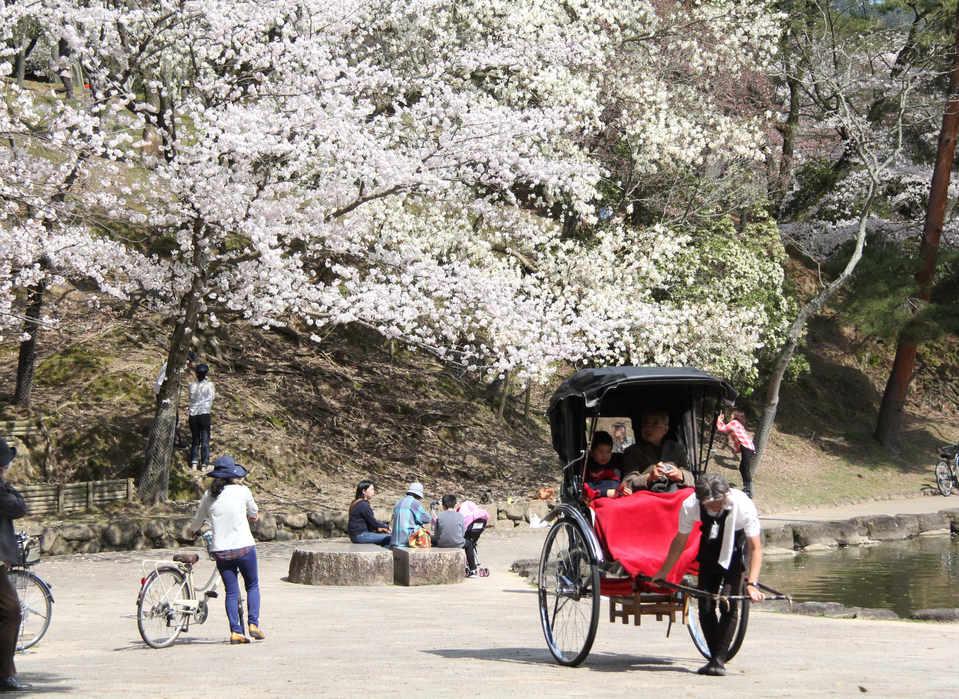 Cherry blossoms @Ukimido/樱花@浮御堂