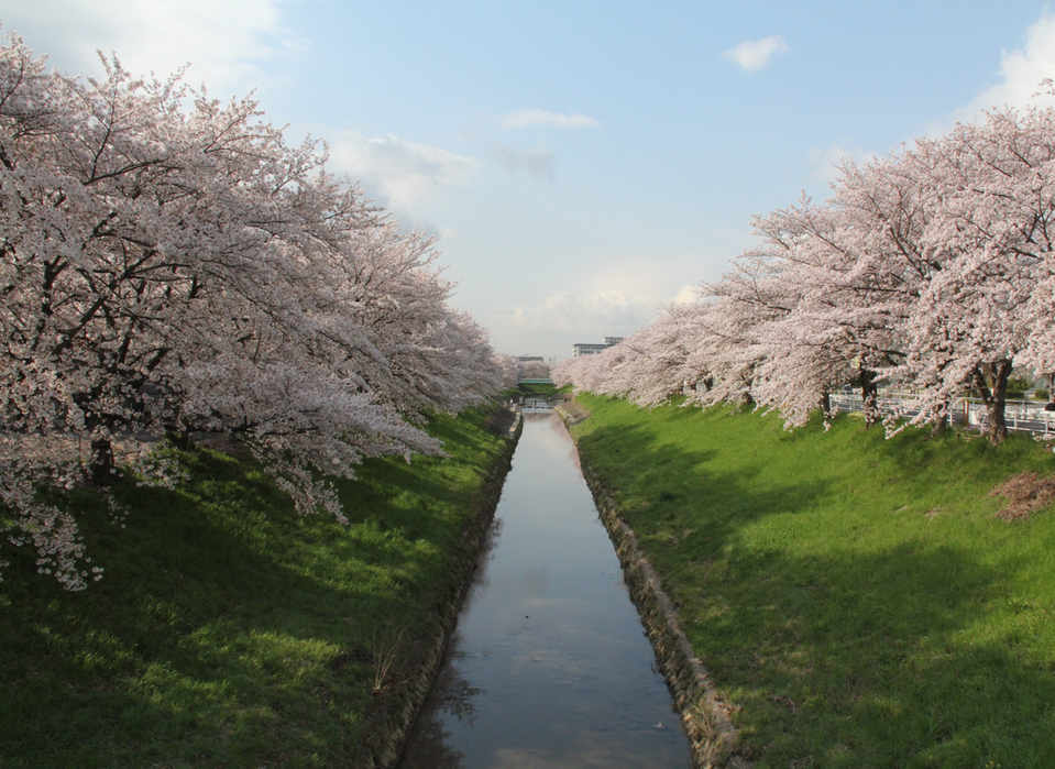 Saho river cherry blossoms/佐保川櫻