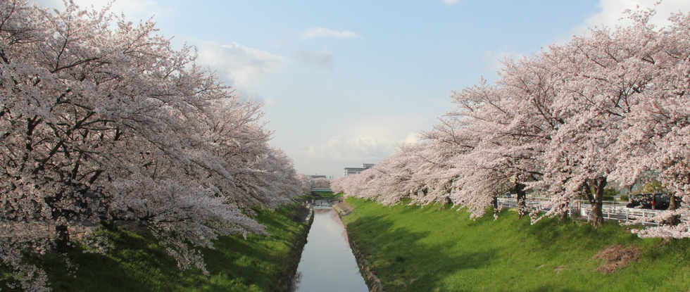 Saho river cherry blossoms/佐保川櫻