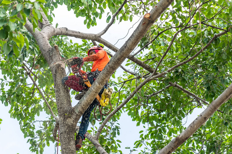 Gilbert Tree Service Pros employee in a tree trimming it in Gilbert, Arizona