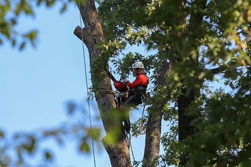 employee in a tree trimming branches