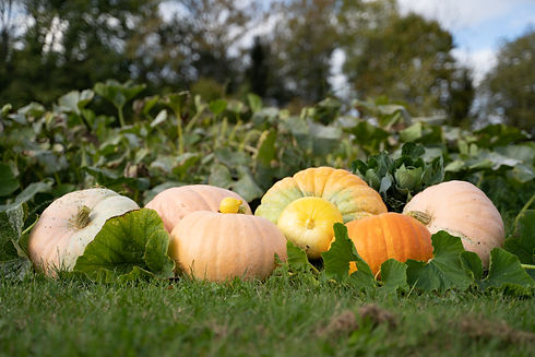 Pumpkins 2020