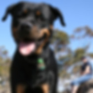 Rottweiler close up