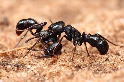 fd65e-plectroctena_sp_ants.jpg