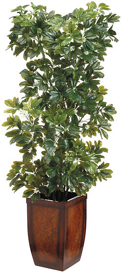 5.5' Schefflera Tree in Wood Planter
