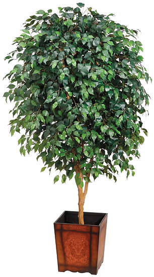 7' Ficus Tree in Wood Container