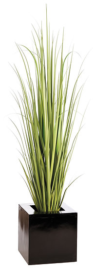 7.5' Reed Grass in Square Planter