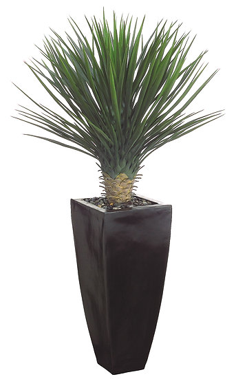 "53""H X 30""W X 30""L Whipple Yucca in Black Container"