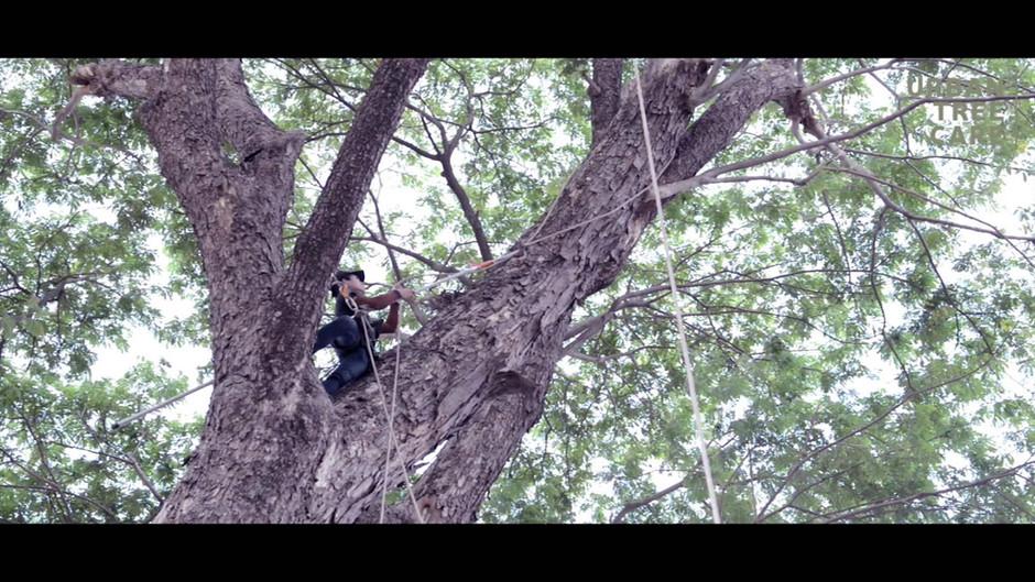 Big Tree // Urban Tree care