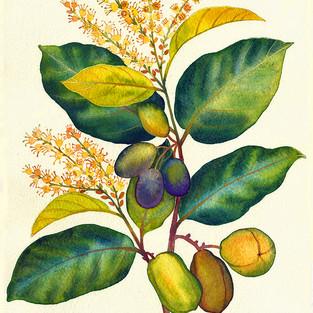 Haritaki Ayurvedic Herb