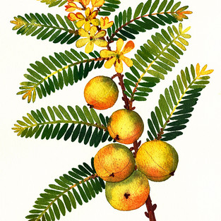 Amla Berry Ayurvedic Herb