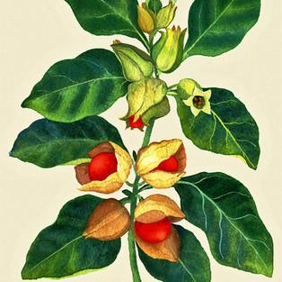 Ashwaganda Ayurvedic Herb