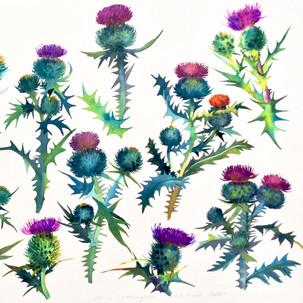 Scottish Thistle Studies