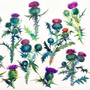 Scottish Thistle Studies