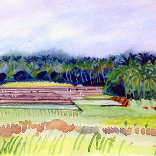 Rice Paddies Kerala