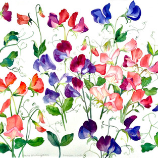 Sweet Pea Studies