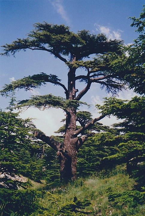 File:The Cedars of God, Lebanon 2002.jpeg by DIMSFIKAS at Greek Wikipedia