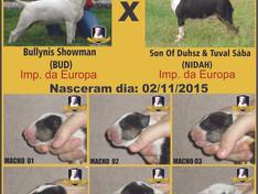 "Ninhada (02/11/2015): ""BUD"" (Imp. da Europa) x ""NIDAH"" (Imp. da Europa)"