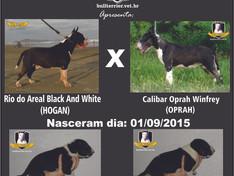 Ninhada HOGAN x OPRAH (Nascida aos 01/09/2015)