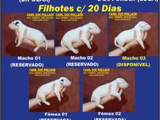Filhote Disponível!!! 1 LINDO MACHO BCO! Oportunidade!
