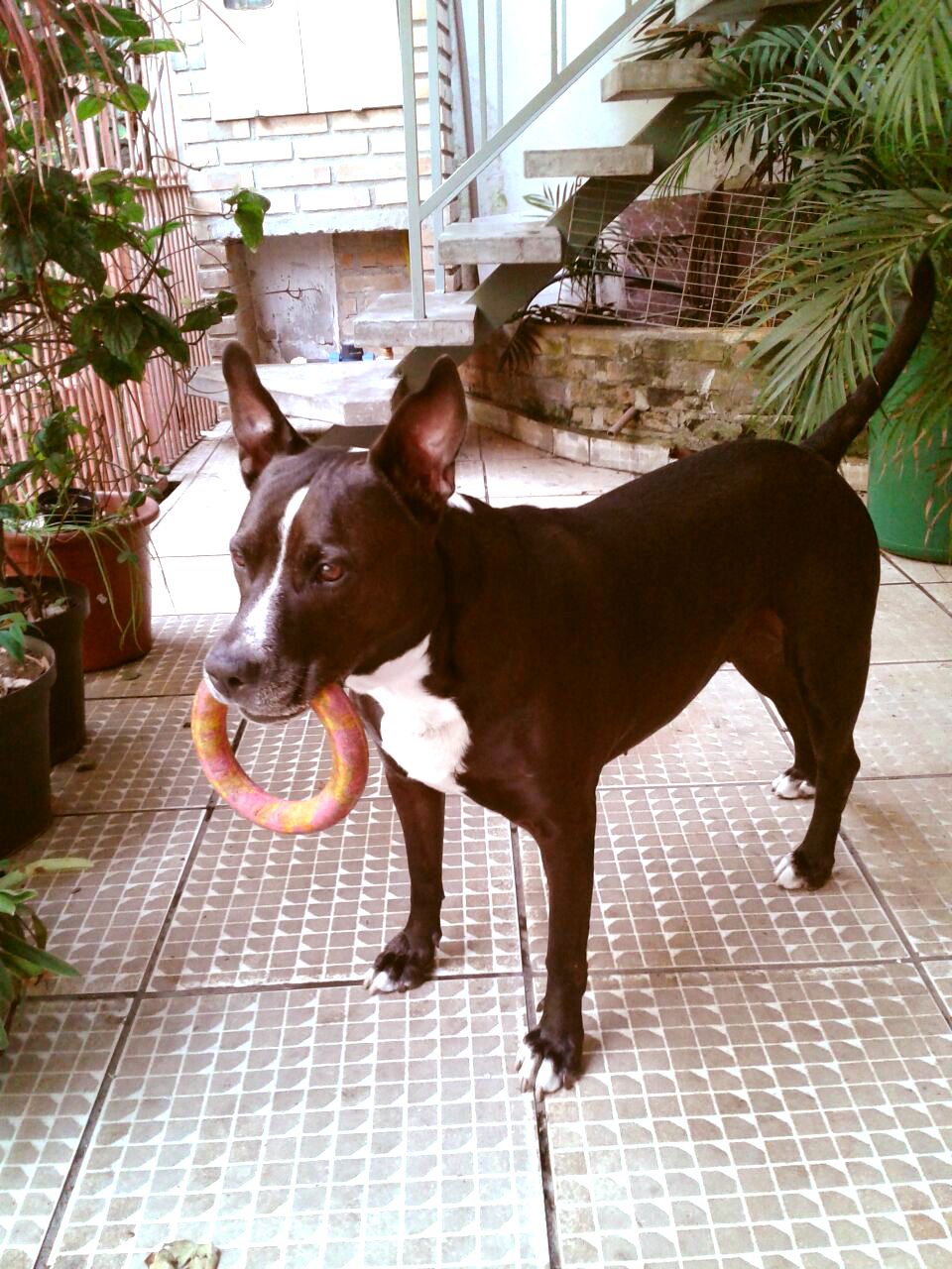 A pit bull Tayra adora brincar