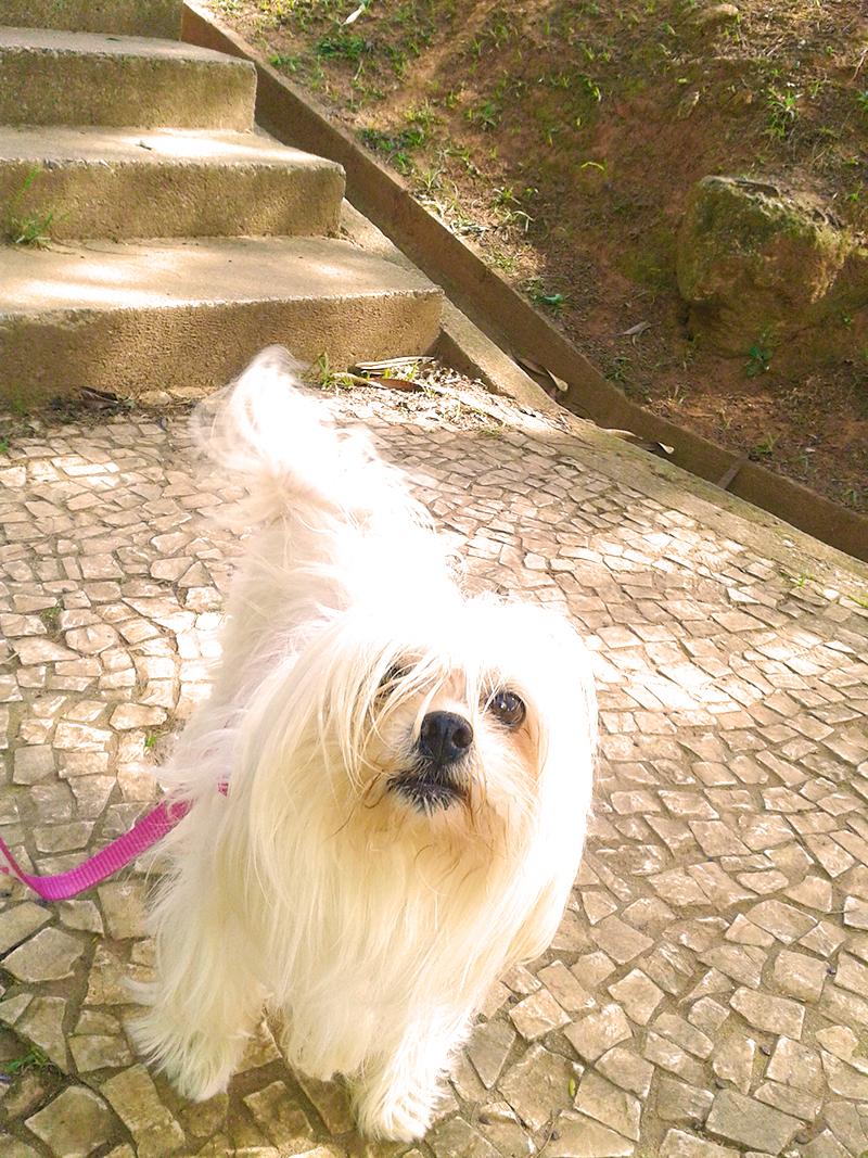 Um passeio com a lhasa apso Desiree.