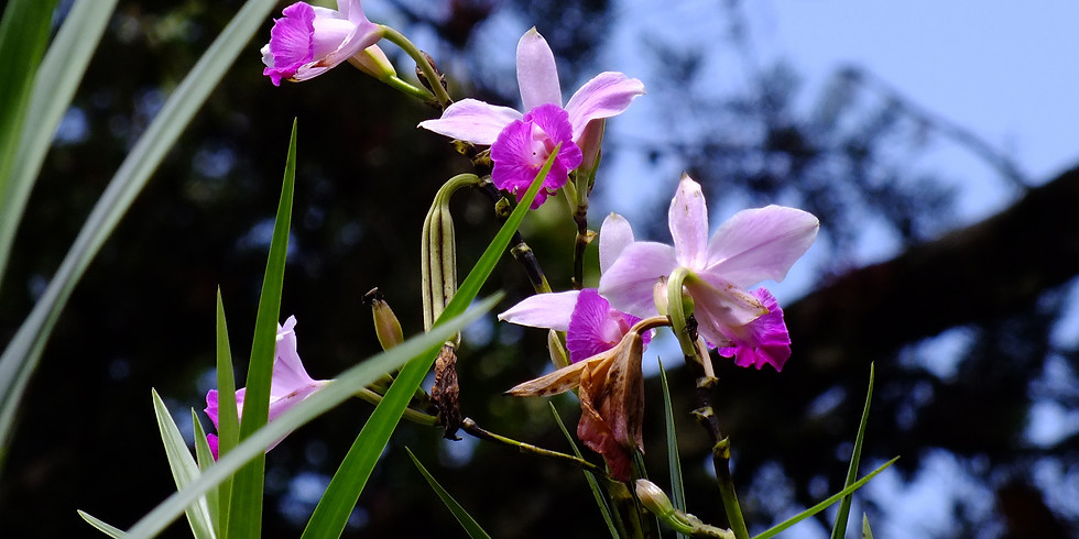 Orchids of Borneo. In the footsteps of Alfred Russell Wallace.