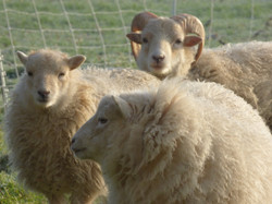 Moutons Ouessant Ecopaturage