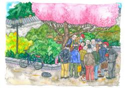 4 April Cherry tree