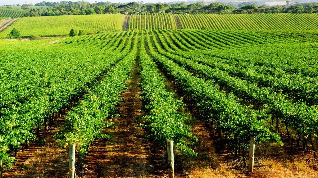vigne-parcelle-1024.jpg