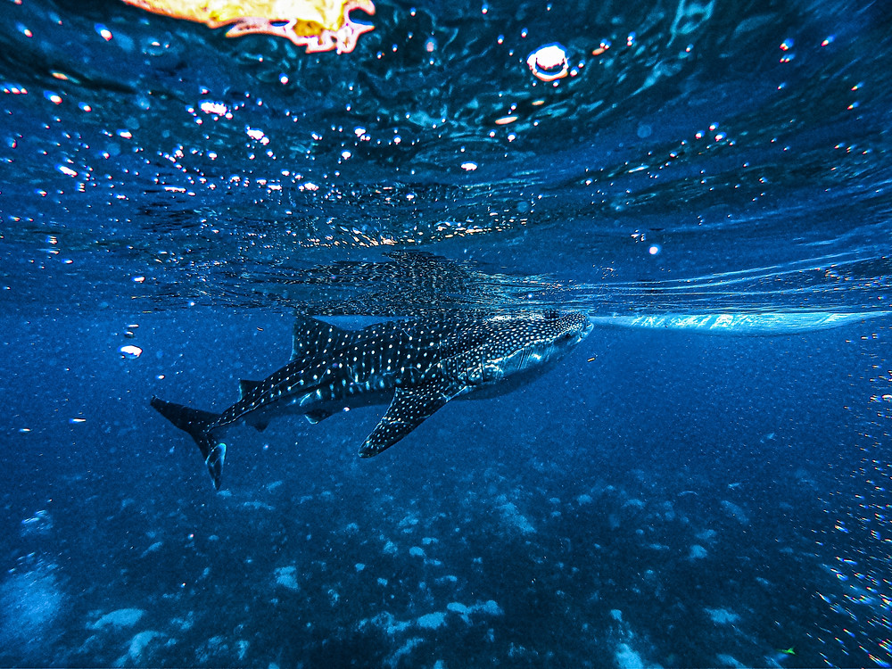 A Whale Shark in Oslob, Philippines. The Whale Shark is a filter-feeding carpet shark and the largest known extant fish on the planet.